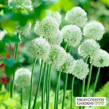 mount everest allium bulbs white allium high country gardens