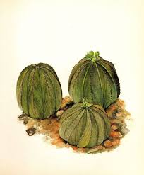 Beautiful Vintage Cactus Print Botanical Baseball Succulent 2579