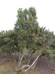 Christmas Tree Types In California by Common Juniper Trees In North America