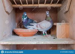 100 Pigeon Coop Plans A Couple Of Carrier S At Their Nest Stock Photo