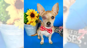 100 Where Is Chihuahua Located Terrier Mix Bandit Is A Social Butterfly Orange