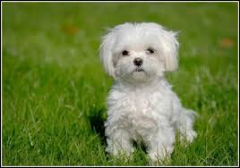 No Shed Small Dogs by Small Dogs That Don U0027t Shed Dog Pet Photos Gallery 5nbqml9bvx