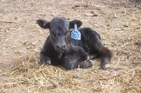 Surprising Factors Can Affect Auction Prices For Beef Calves | Beef ... Driving Divisions Prime Inc Truck Driving School Favel Transportation Your Experienced Transportation Professionals Low Turnover At Hunt Flatbed Youtube Midwest Livestock Group Overlooked Video Gem Reveals A Bygone Trucking Era Steves Transport Facebook Express Cattle Truck Jobs Best Image Kusaboshicom Driver Australia Bull Haulin