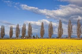 daffodils and blue skies of mount vernon wa douglas orton imaging