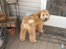 61 best soft coated wheaton terrier images on pinterest terriers