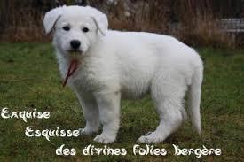 le berger pas cher berger blanc suisse chien de berger blanc les avis et les
