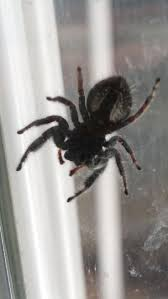 Do Tarantulas Shed Their Fangs by 115 Best Spiders Images On Pinterest Spider Webs Spiders And