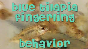 Blue Tilapia Fingerlings Behavior