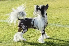 No Shedding Dog Breed by Dog Breeds That Don U0027t Shed American Kennel Club