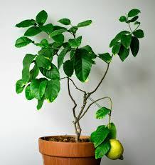 lemon tree care as you correctly a lemon tree fresh