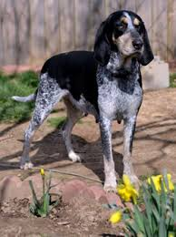 Do Bluetick Coonhounds Shed by About Blueticks Kentucky Blue Ticks