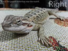 skin disease bearded dragon org