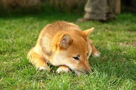 Do Shiba Dogs Shed by A Guide To Shiba Inu Training Canna Pet