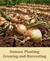 onions planting growing and harvesting my favorite things