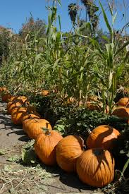 Pinery Bonita Pumpkin Patch by San Diego Daily Photo October 2008