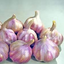 garlic bulbs buy garlic for growing harris seeds