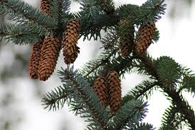 Silvertip Christmas Tree by Free Images Tree Branch Wood Evergreen Fir Twig Christmas