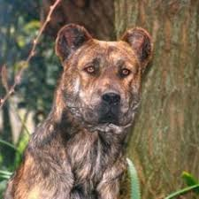 Protective Dog Breeds That Dont Shed by 28 Large Dog Breeds That Dont Shed Dogs That Don T Shed