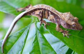 Extreme Halloween Crested Gecko by Summer Sale 2016 Apollo U0027s Geckos