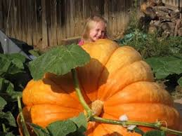 Largest Pumpkin Ever Grown 2015 by 70 Best Giant Pumpkins Images On Pinterest Pumpkins Colors And