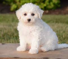 Do Jackie Bichon Shed by Poo Puppies By Design Online