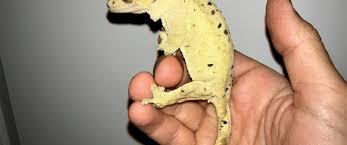 Crested Gecko Shedding Behavior by Crested Gecko Care Sheet Crested Gecko Diet Crested Gecko Breeding