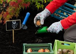 plant and store bulbs in fall garden club