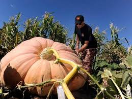 Pumpkin Patch Littleton Co by Brothers With A Passion For Pumpkins Grow For The Gold U2013 The