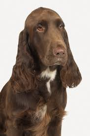 Do Brittany Spaniels Shed Hair by Field Spaniel Dog Breed Information Pictures Characteristics