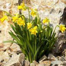 buy narcissus tete a tete bulbs miniature daffodils brookside