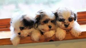 Mal Shi Shih tzu & Maltese $650 do not do these sweet