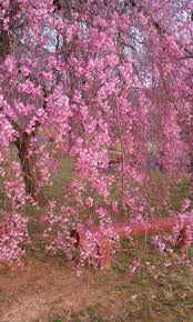 Meyer Decorative Surfaces Macon Ga by Best 20 Japanese Cherry Tree Ideas On Pinterest What Are Trees