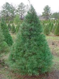 Leyland Cypress Christmas Tree Farm by Christmas Tree Types White Pine Find Out Why To Choose This