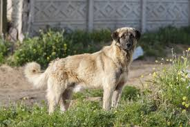 Non Shedding Large Dogs by Extra Large Dog Breeds