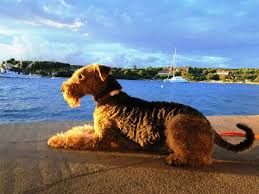 Airedale Terrier Non Shedding by 166 Best Airedale Terrier King Of Terriers Images On Pinterest