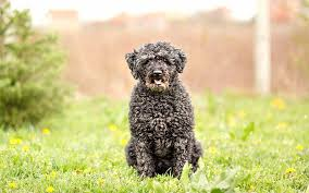 Portuguese Water Dog Shedding Problems by Puli Dog Breed Information Pictures Characteristics U0026 Facts