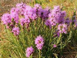 liatris care information on growing and caring for liatris plants