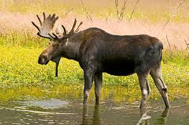 Moose Shedding Their Antlers by Moose Facts Information And Photos American Expedition