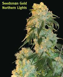 Northern Lights by Seedsman SeedFinder Strain Info