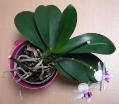 que faire quand les racines de l orchidée débordent