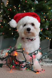 Are Christmas Trees Poisonous To Dogs by 191 Best Dogs Wrapped In Christmas Lights Images On Pinterest
