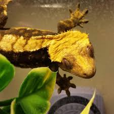 Crested Gecko Shedding Info by 100 Crested Gecko Shedding Signs Gecko Lizard Unique Kid