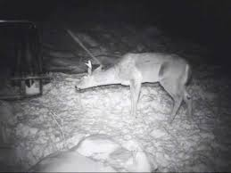 caught on film antler trap available at www gobblintoms com