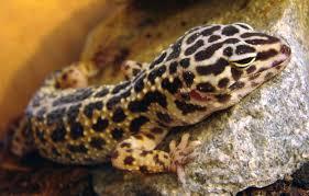 Do Leopard Geckos Shed by Leopard Gecko Pet U0027s Delight
