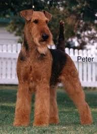 Airedale Terrier Non Shedding by Airedale Terrier Known As The U201cking Of Terriers U201d The Airedale Is