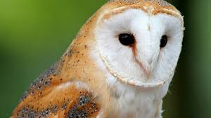 Barn Owl Wallpaper 19783 - Baltana Barn Owl Facts About Owls The Rspb Bto Bird Ring Demog Blog October 2014 Chouette Effraie Lechuza Bonita Sbastien Peguillou Owl Free Image Peakpx Wikipedia Barn One Wallpaper Online Galapagos Quasarex Expeditions Hungry Project Home Facebook Free Images Nature White Night Animal Wildlife Wild Hearing Phomenal Of Nocturnal Wildlife Animal Images Imaiges