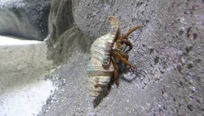 Do Hermit Crabs Shed by How Do Crustaceans Protect Themselves Sciencing