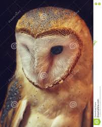 Barn Owl Portrait With Black Background Stock Photo - Image: 78785036 Black Barn Owl Oc Eclipse By Pkhound On Deviantart Closeup Of A Stock Photo 513118776 Istock Birds Of The World Owls This Galapagos Barn Owl Lives With Its Mate A Shelf In The Started Black Paper Today Ref Paul Isolated On Night Stock Photo 296043887 Shutterstock Stu232 Flickr Bird 6961704 Moonlit Buttercups Moth Necklace Background Image 57132270 Sd Falconry Mod Eye Moody