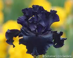 bearded iris colors shop bearded iris by color black iris