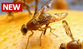 How To Get Rid Of Fruit Flies, How To Kill Fruit Flies, How Do You ... How To Get Rid Of Flies In Backyard Outdoor Goods Diy Using Pine Sol To Of House Youtube 25 Unique What Kills Fruit Flies Ideas On Pinterest Pest Keep Away Repellent Rid Rotline Do I Get Solana Center For 3 Ways Around Your Dogs Water And Food Bowls Fruit Kill Do You Chicken Coop For Happier Hens Coops Those Pesky Flies From Pnic Areas Easy Home Remedy Coping With The Fall The New York Times Outdoors Step By